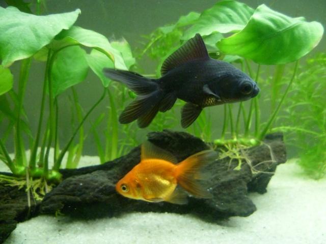 Lancement aquarium 100l, 2 poissons japonais P1010514