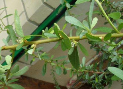 Argania spinosa- L'Arganier  - Page 2 Argani10