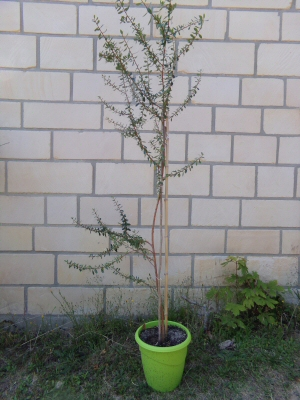Argania spinosa- L'Arganier  - Page 2 Argann10