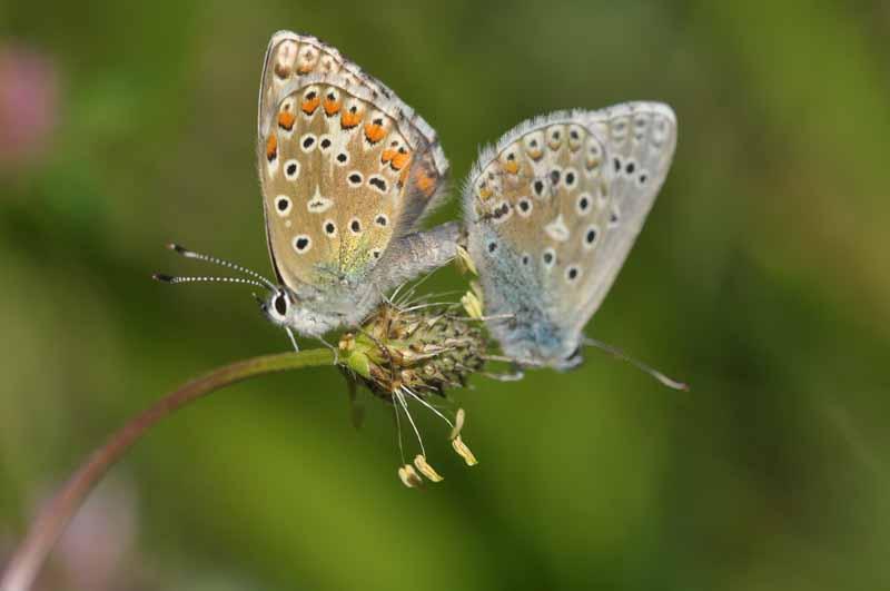 Identification papillons Dsc_8910