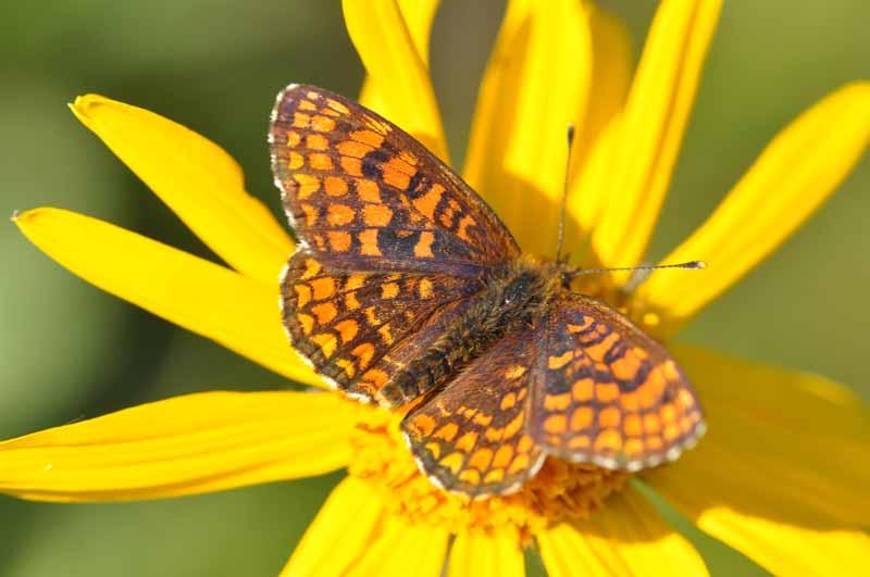 Identification papillons Dsc_9112
