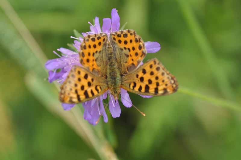 Identification papillons Dsc_9113