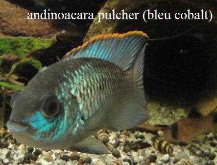andinoacara pulcher (bleu cobalt) reproduction. Andino10