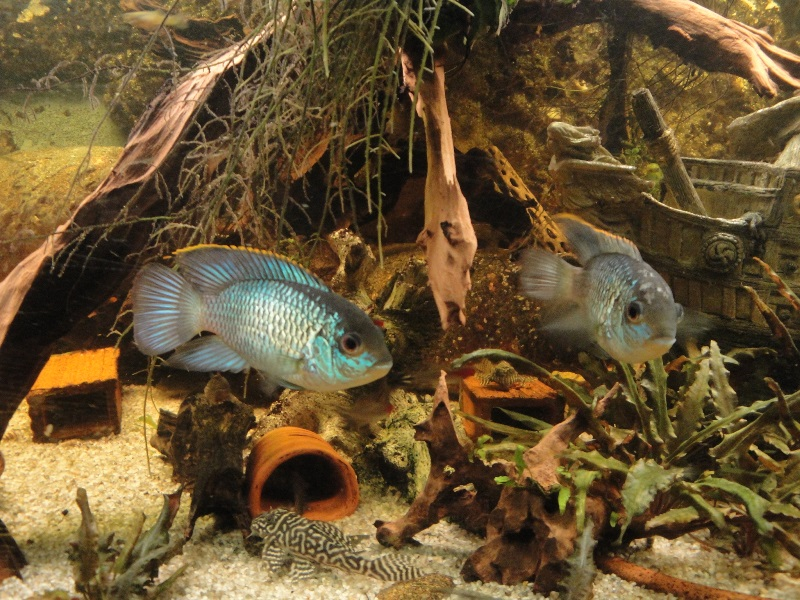 andinoacara pulcher (bleu cobalt) reproduction. Dsc01210