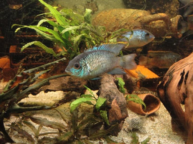 andinoacara pulcher (bleu cobalt) reproduction. Dsc01211
