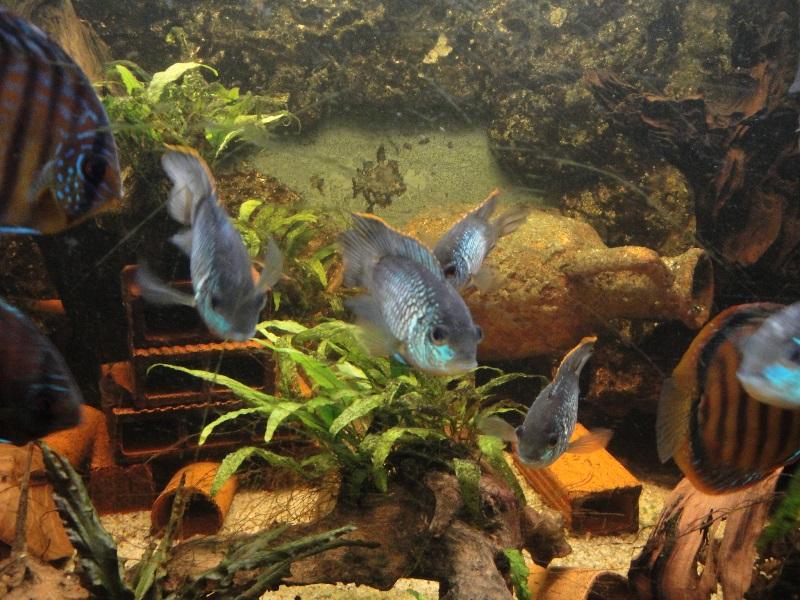 andinoacara pulcher (bleu cobalt) reproduction. Dsc01310