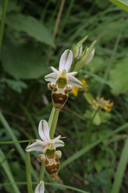 ophrys scolopax Img_8810