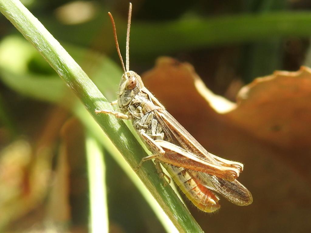 [Chorthippus sp. (brunneus/biguttulus/mollis)] Chorthippus brunneus ? Rscn0121