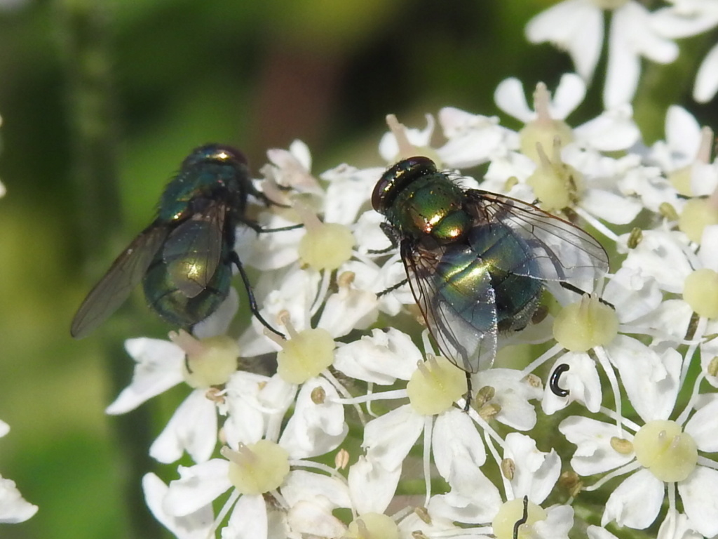 [Neomyia cornicina & cf. Neomyia viridescens] Neomyia cornicina ? Rscn0122