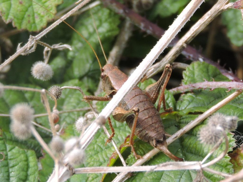 [Pholidoptera griseoaptera] ? Rscn0211