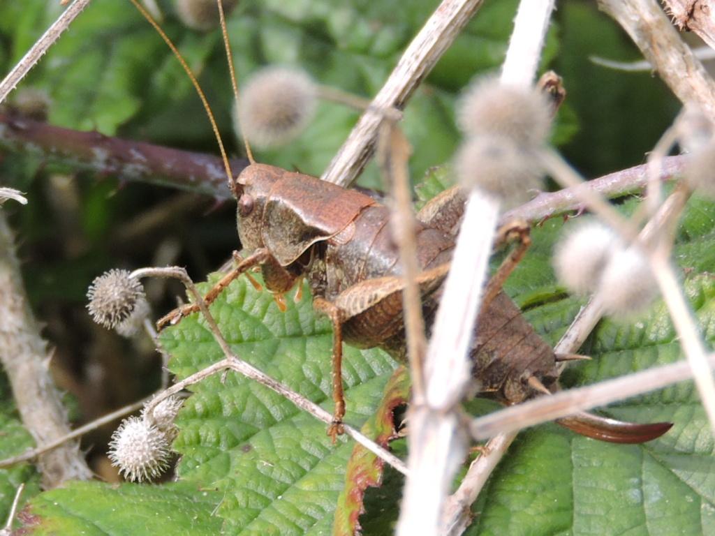 [Pholidoptera griseoaptera] ? Rscn0212