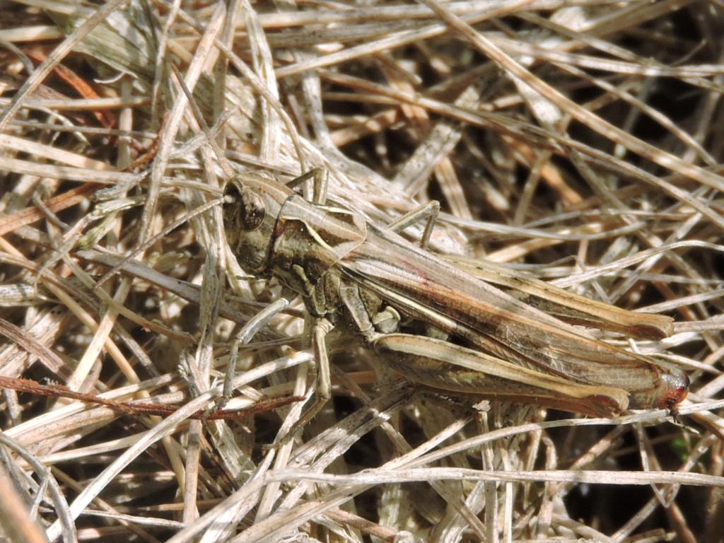 [Chorthippus sp. (brunneus/biguttulus/mollis)] une femelle bbm ? Rscn0213