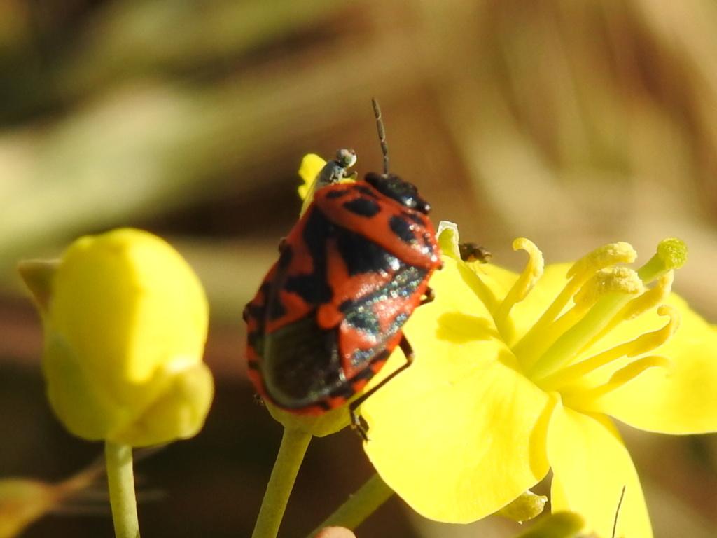 [Eurydema ornata] Eurydema spectabilis ? Rscn0214