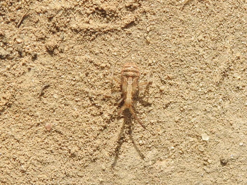 [Coriomeris sp.] jeune Coreidae ? Rscn0318