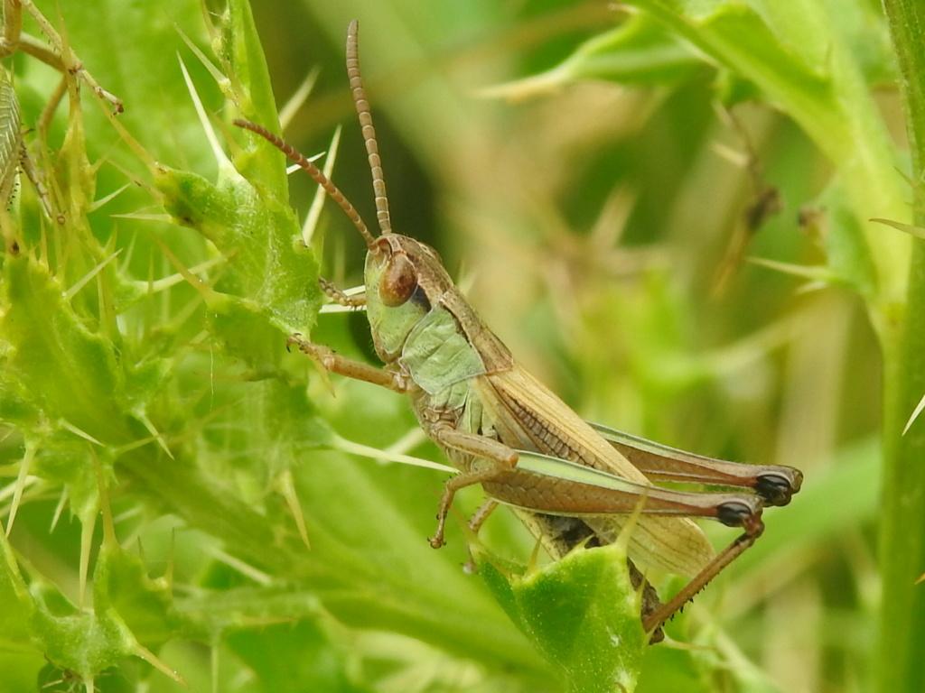 [Pseudochorthippus sp.] Pseudochorthippus montanus ? Rscn1118