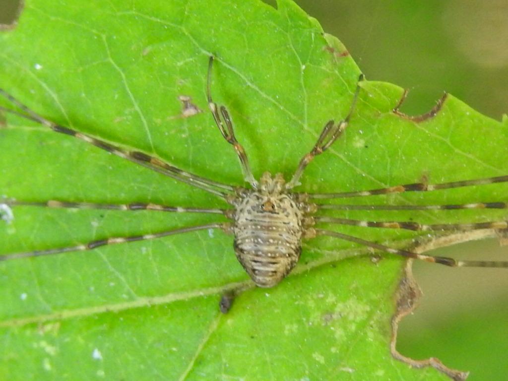 Dicranopalpus ramosus ? Rscn1210