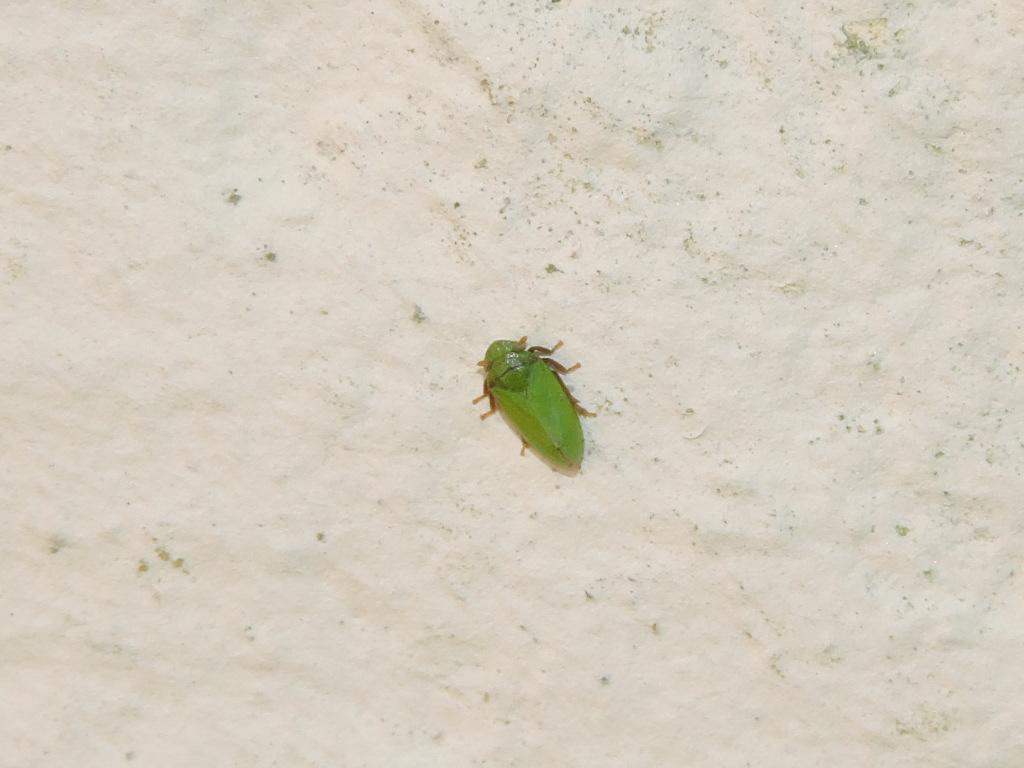 [Tettigometra cf. virescens] Philaenus spumarius vert ? Rscn1714
