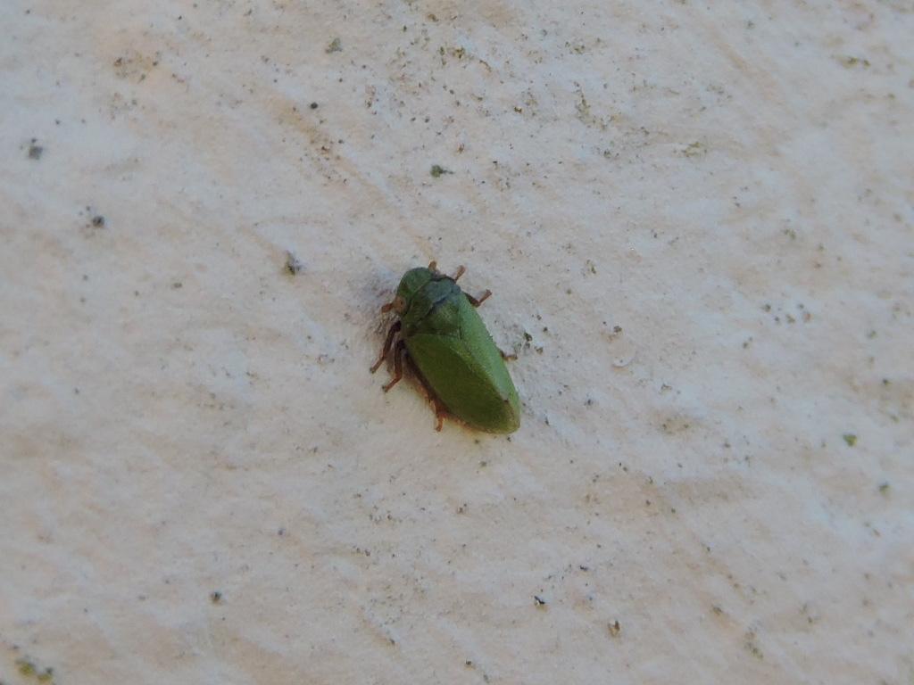 [Tettigometra cf. virescens] Philaenus spumarius vert ? Rscn1715
