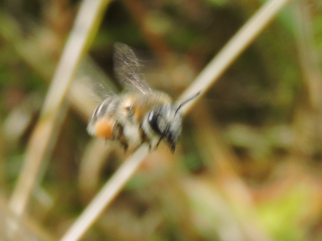 petite abeille inconnu  Rscn2616