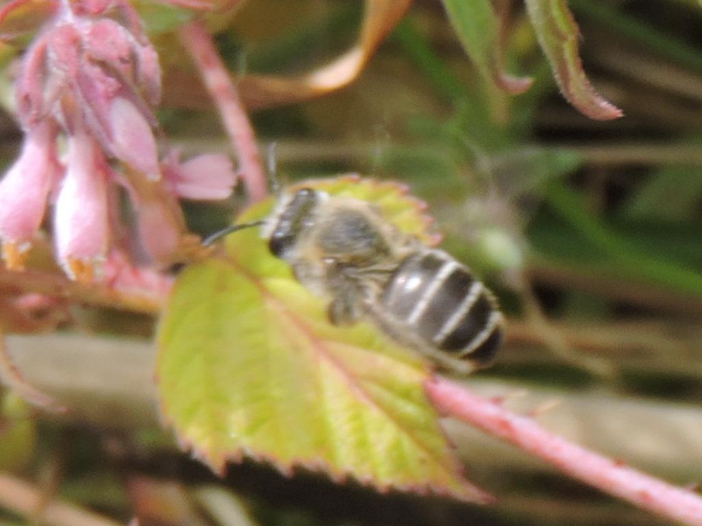 petite abeille inconnu  Rscn2618