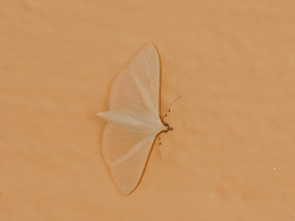 [Palpita vitrealis] un Geometridae ? Rscn2713