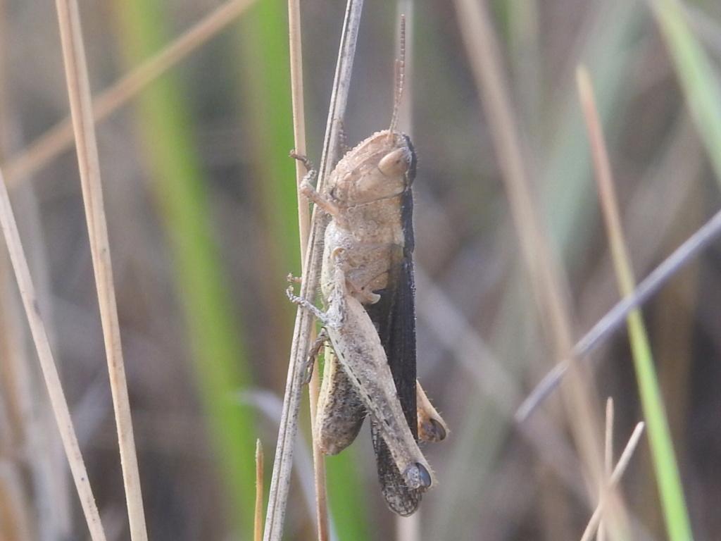 [Chorthippus sp.] Chorthippus albomarginatus ? Rscn3310