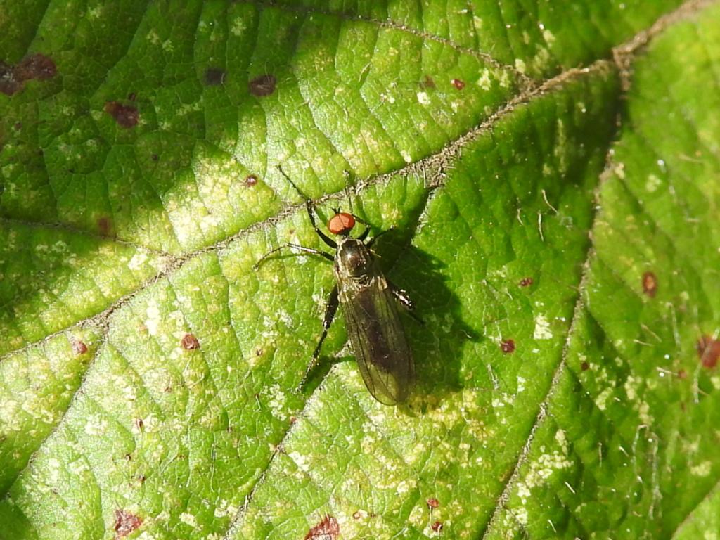 [cf. Hybos culiciformis] Bibionidae ? Rscn3415