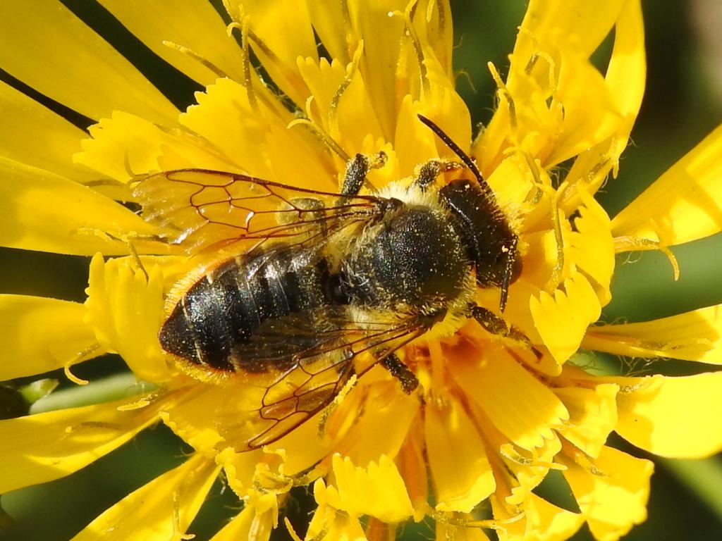 Megachile centuncularis ? Rscn3419