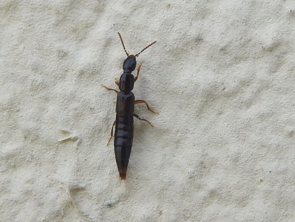 Staphylinidae - Lathrobium ? Rscn3428