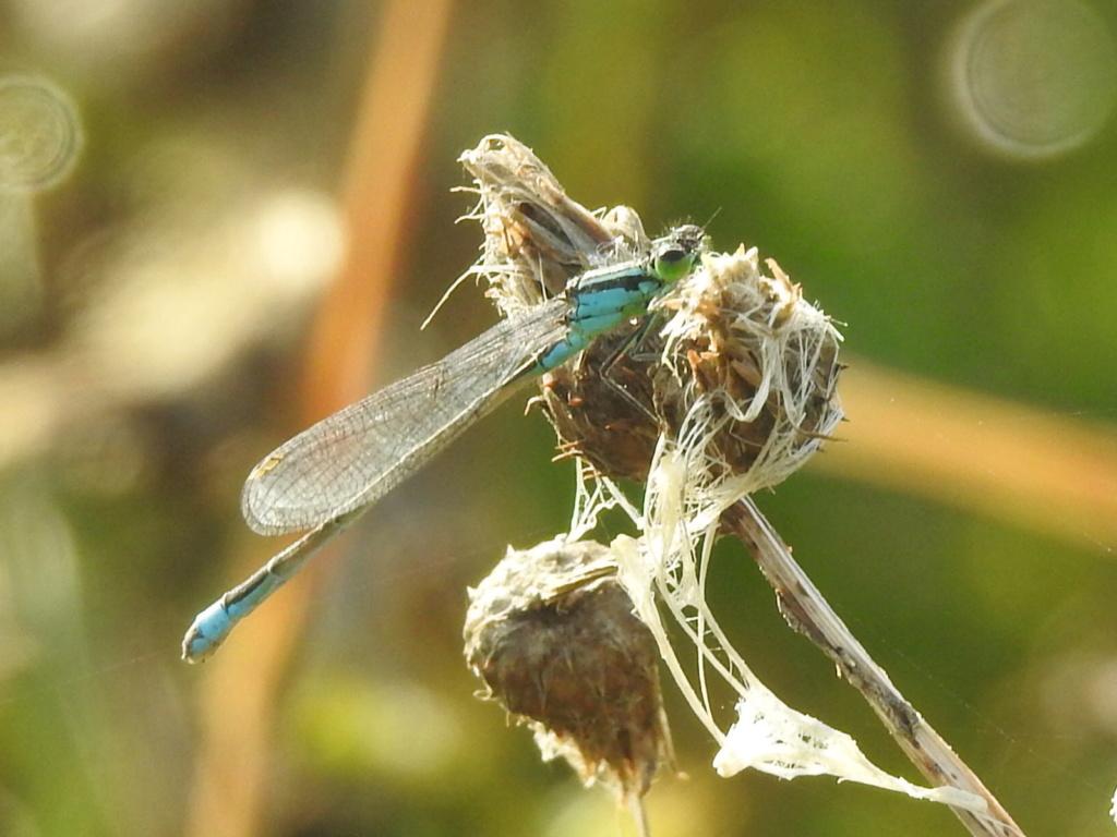 [Ischnura elegans] Enallagma cyathigerum ? Rscn4412