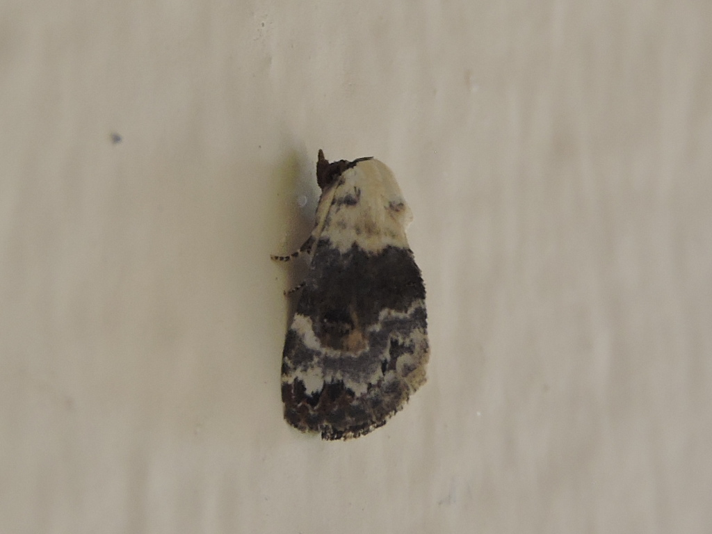 [cf. Eublemma scitula] un Notodontidae ? Rscn6010