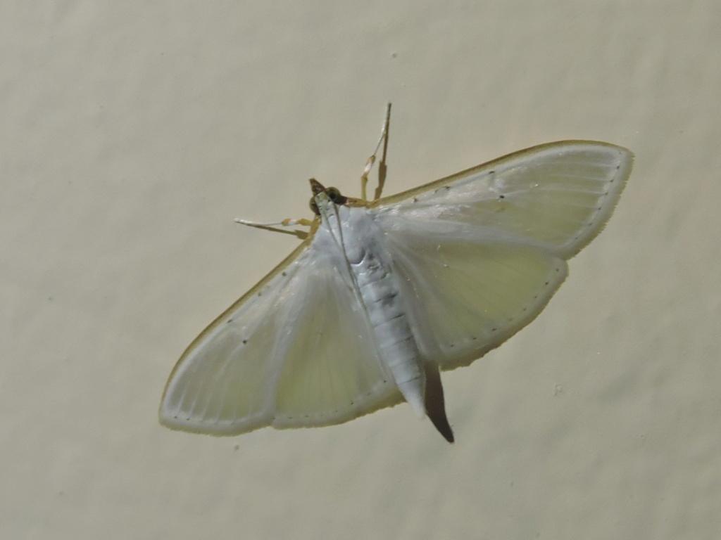 [Palpita vitrealis] un Geometridae ? Rscn6013