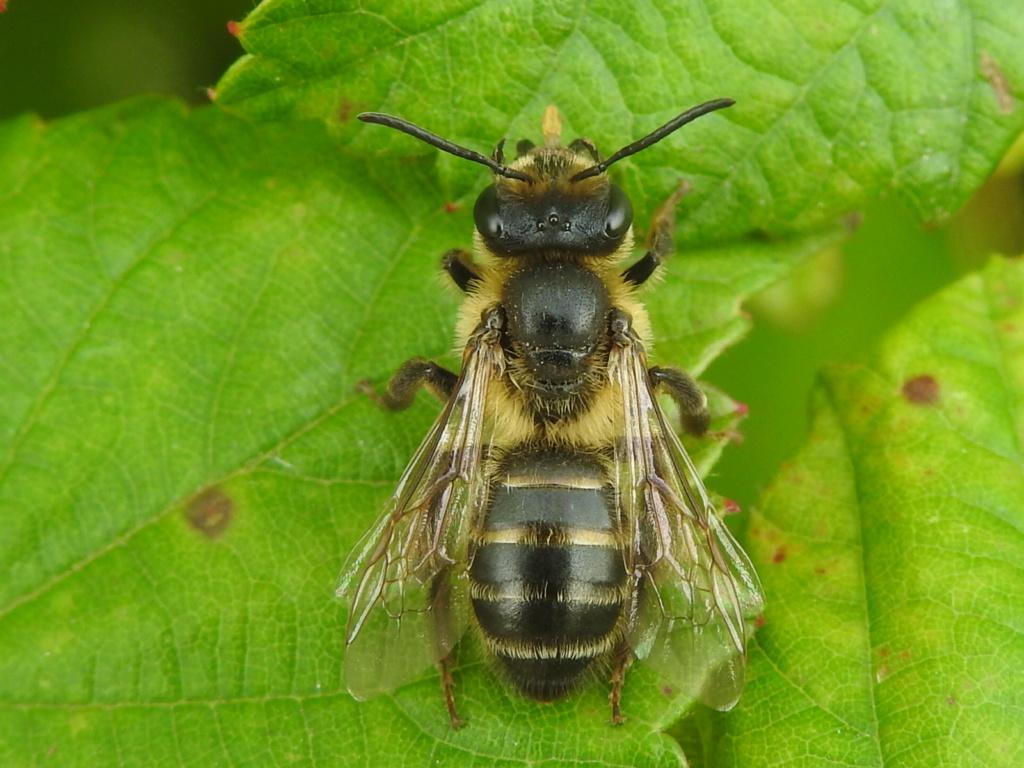 [Andrena sp.] Andrena carantonica ? Rscn6611