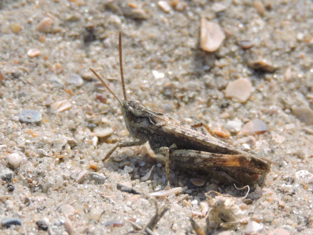 [Chorthippus (Glyptobothrus) sp.] Criquet inconnu  Rscn7414