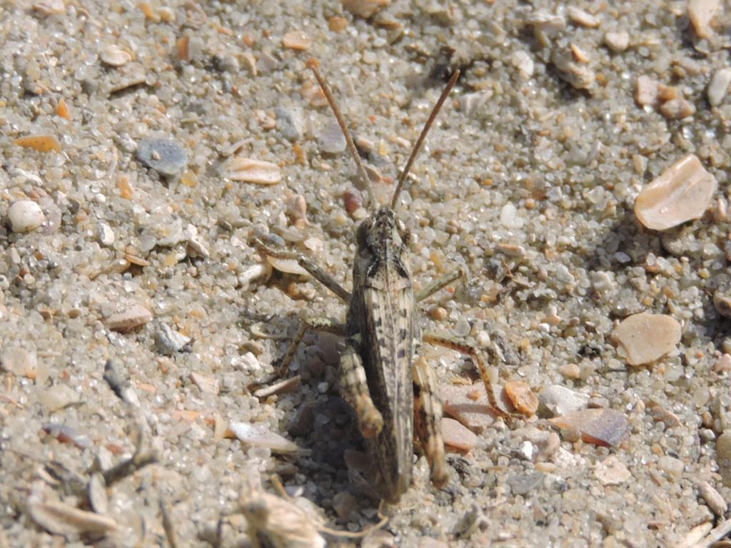 [Chorthippus (Glyptobothrus) sp.] Criquet inconnu  Rscn7415