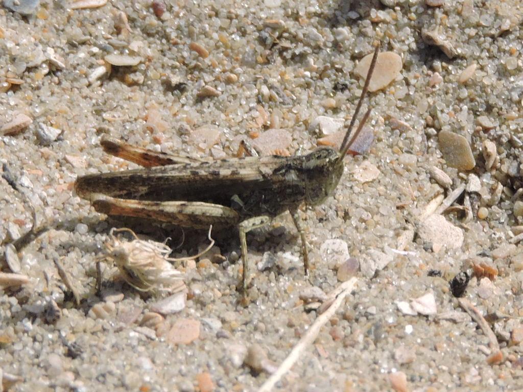 [Chorthippus (Glyptobothrus) sp.] Criquet inconnu  Rscn7416