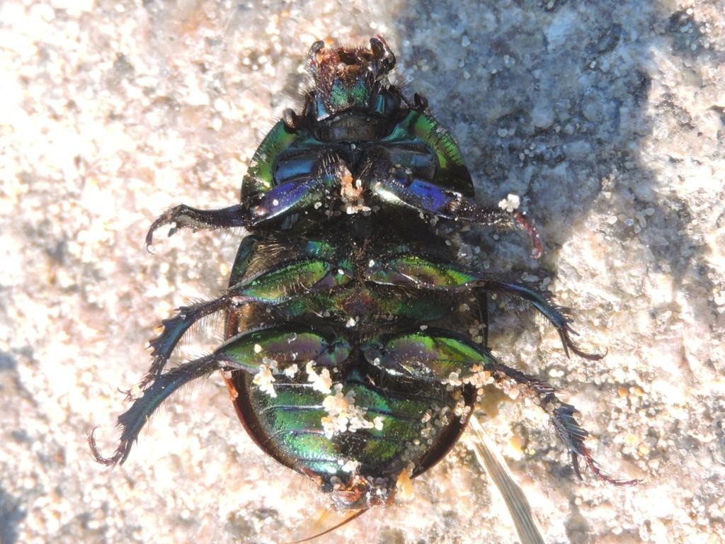 [Sericotrupes niger] un Geotrupidae ? Rscn8833