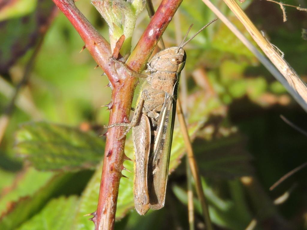 [Chorthippus sp. (biguttulus/mollis)]Chorthippus dorsatus ? Rscn8924