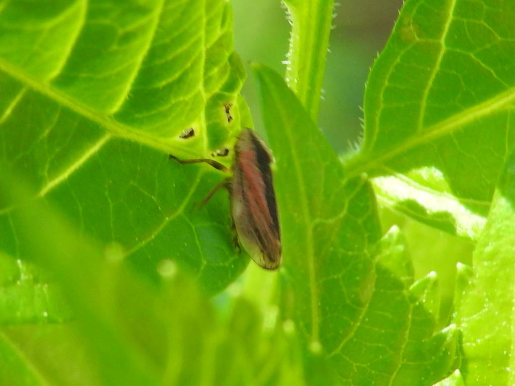 [Philaenus spumarius] Cicadellidae ? Rscn9126
