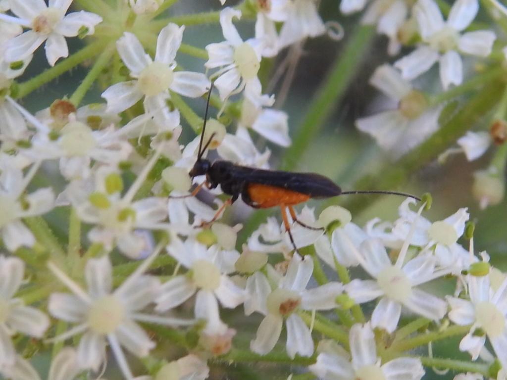 [Braconidae] un Ichneumonidae ? Rscn9129