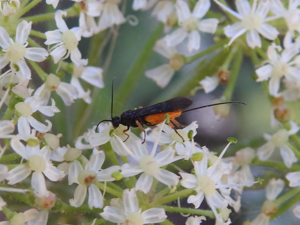[Braconidae] un Ichneumonidae ? Rscn9130