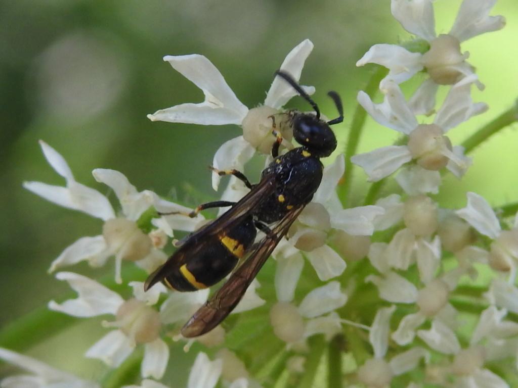 [Symmorphus sp.] Symmorphus  Rscn9133