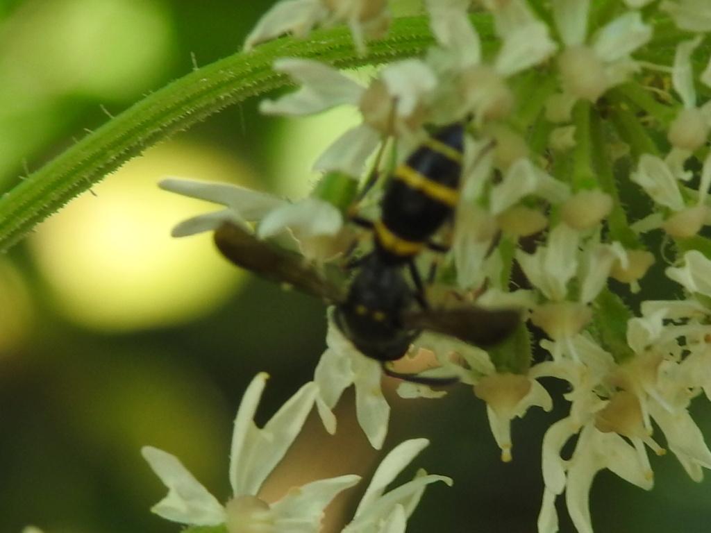 [Symmorphus sp.] Symmorphus  Rscn9134
