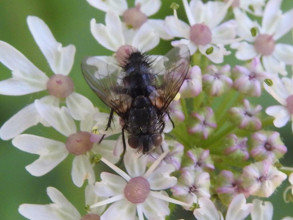 [Tachinidae] Exorista larvarum ? Rscn9212