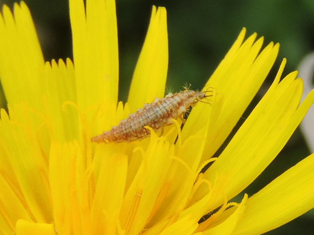 [Chrysopidae] larve d'Hemerobiidae ? Rscn9611