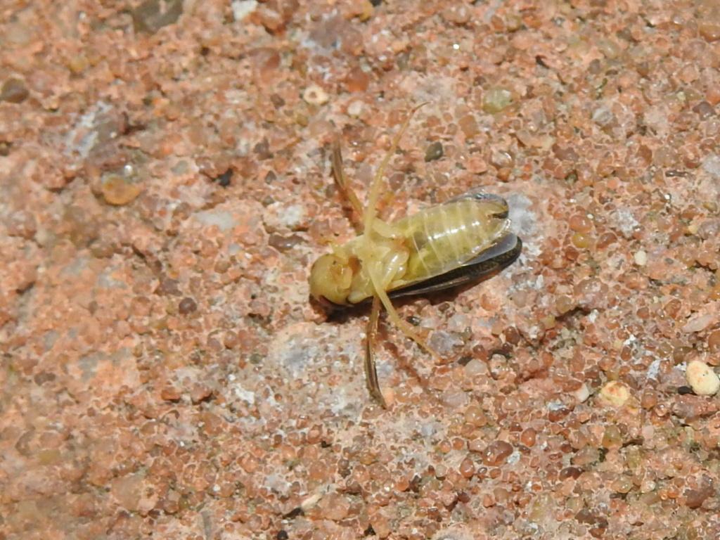 Corixidae Rscn9619