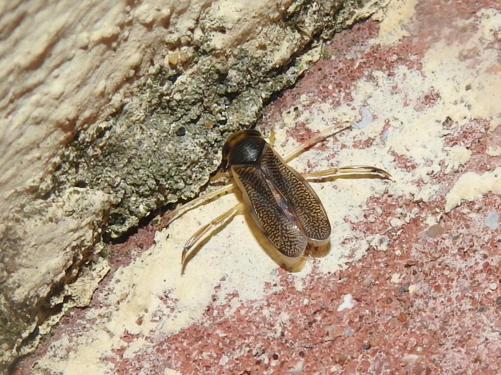 Corixidae Rscn9621