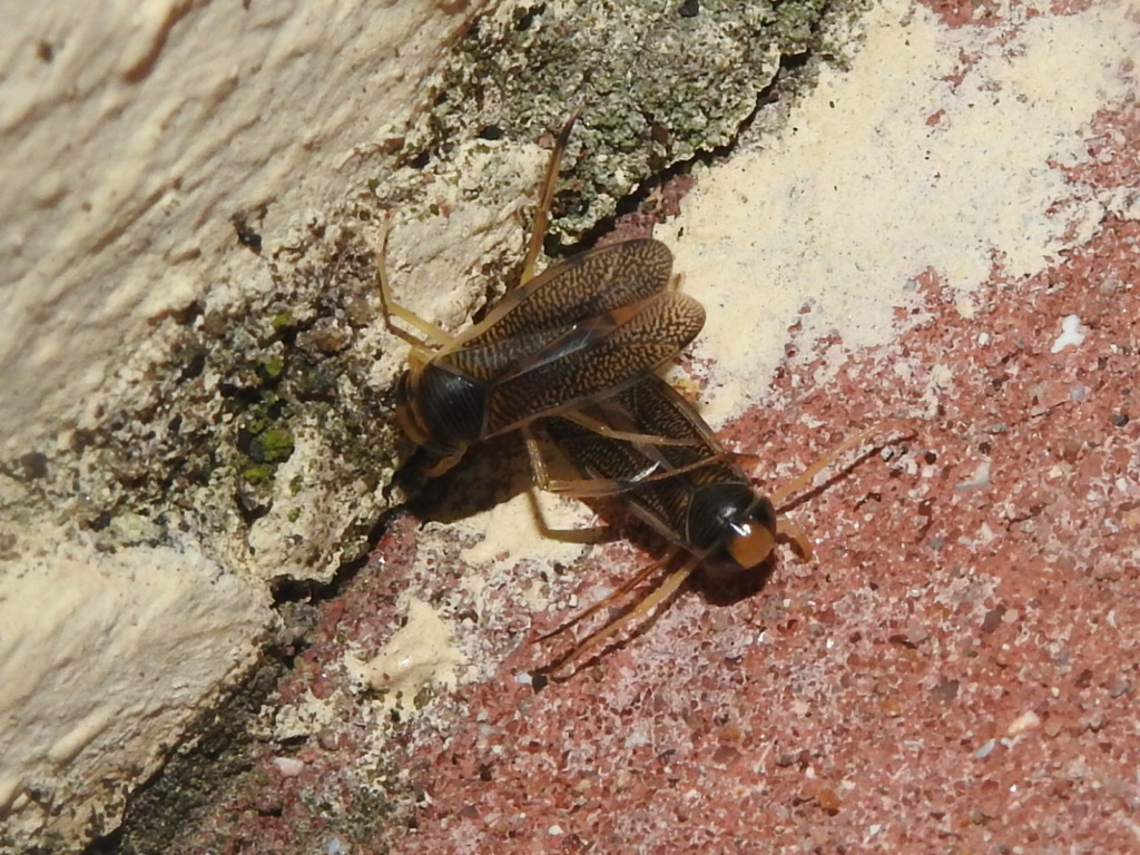Corixidae Rscn9622