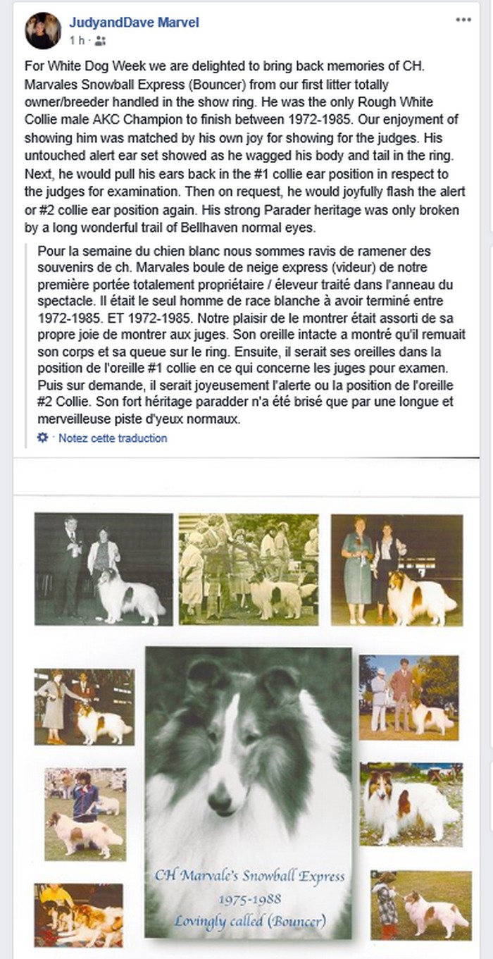 histoire des colleys et shetland sheepdogs blancs. Colley10
