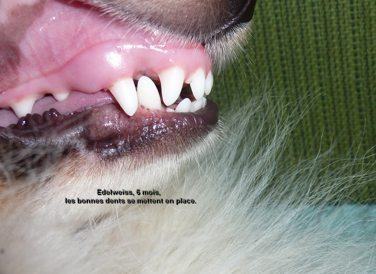 Naissance  et jeunesse d'Edelweiss. Dents_11